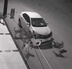Video: una banda de perros destrozó un auto