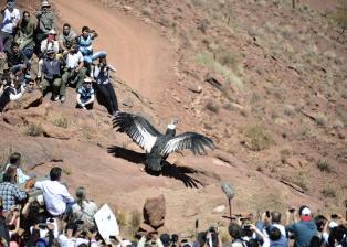 Disfrutá la secuencia de imágenes de la liberación de un Cóndor